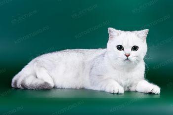 Bella Imperiya Serebra. <p>Британская кошка</p>