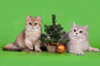 Британская кошка с котенком.