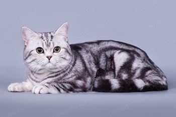 Von Katzenheim Bonnie. Британский кот.