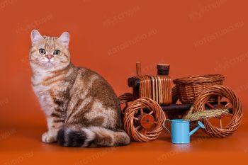 Ellina's Golden Mirabella. Британская кошка.