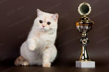 Тодесс Сомерсет. <p>Кошка британской породы</p>