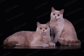 Laura и Shakira Beauty из питомника Soft Lines. Британские кошки лилового окраса.