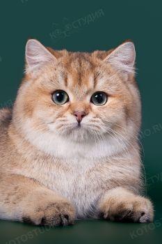 Vinnie Golden Breeze. Британский короткошерстный кот окраса черный золотой тикированный. Питомник Golden Breeze, заводчик Леонова Ольга.