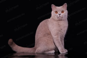Laura, британская кошка лилового окраса. Питомник Soft Lines.