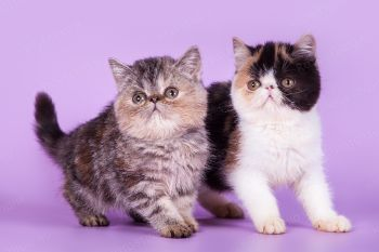 Принцесса и Пандора. Экзотические котята, г. Саратов.