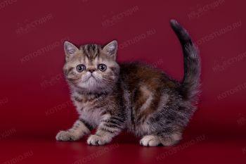 Экзотический котенок из питомника Oxi-Sable, г. Ульяновск.