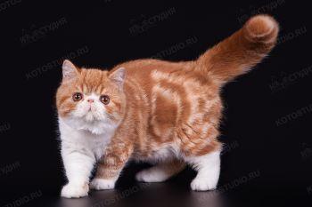 Котенок породы Экзотическая короткошерстная.
