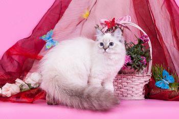 Бирюза оф ЕваНева. Котенок породы Невская маскарадная.