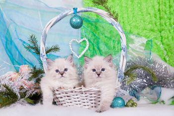 Котята мальчики из помета Б питомника ЕваНева. Порода Невская маскарадная.