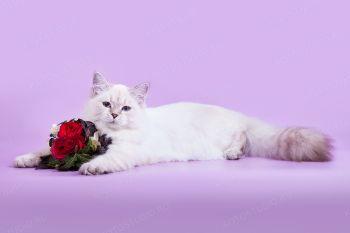 Ассоль оф ЕваНева. Котенок породы Невская маскарадная.