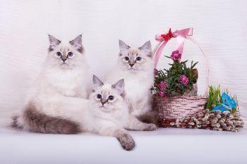 Багратион, Беринг и  Бирюза оф ЕваНева. Котята породы Невская маскарадная.