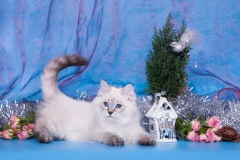 Валдай оф ЕваНева. Котенок породы Невская маскарадная.