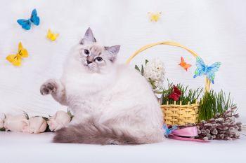 Беринг оф ЕваНева. Котенок породы Невская маскарадная.