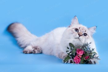 Афина оф ЕваНева. Котенок породы Невская маскарадная.