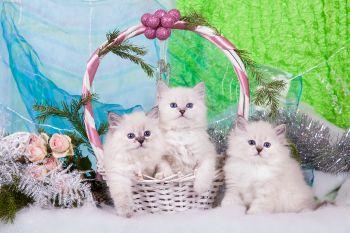 Котята-девочки из помета Б питомника ЕваНева. Породы Невская маскарадная.