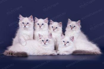 Помет «C», питомник LucianAurora. Котята породы Невская Маскарадная.