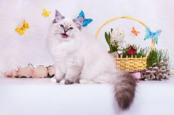 Багратион оф ЕваНева. Котенок породы Невская маскарадная.