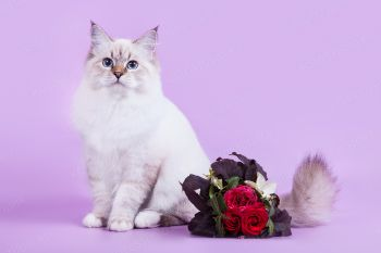 Афродита оф ЕваНева. Котенок породы Невская маскарадная.