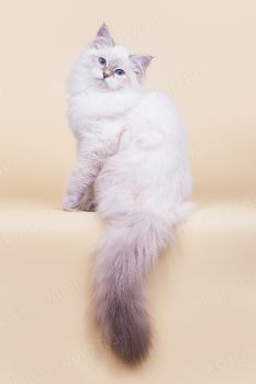 Calista LucianAurora, котенок породы Невская маскарадная.