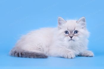 Котенок породы Невская маскарадная из питомника Небесная Лазурь.