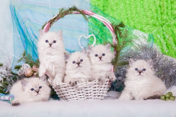 Помет Б питомника ЕваНева. Невские маскарадные котята.