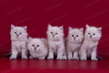 Невские маскарадные котята из питомника Каспийский сувенир.