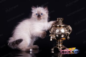 Котенок породы Невская маскарадная.