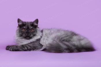 Кошка Британской длинношерстной породы