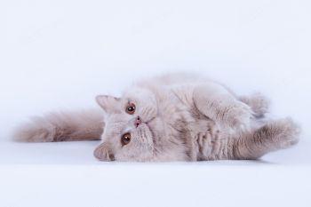 Swelldoms Brain. <p>Британский длинношерстный кот</p>