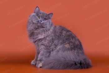 RU Liva Cats Victory. <p>Британская длинношерстная кошка</p>