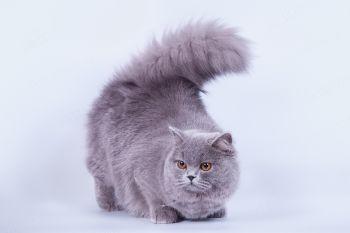 Adriana Pearl of Soft Lines. Британская длинношерстная кошка голубого окраса. Питомник Cherry Mystery.