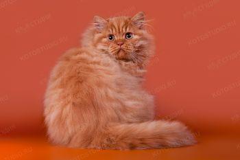 Британский длинношертный котик из питомника Your Majesty
