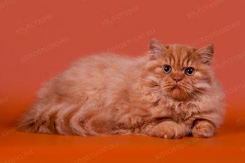 Британский длинношертный котик из питомника Your Majesty.
