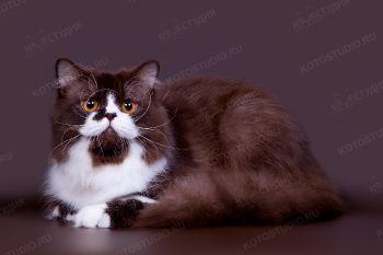 Faust Goethe Ilmenit. <p>Британский длинношерстный кот</p>