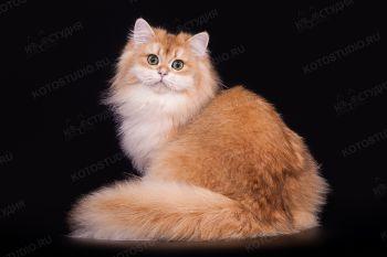Кошка Британской длинношерстной породы.