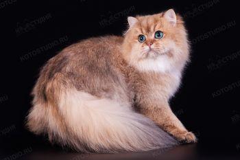Keanu Sun&Snow. Британский длинношерстный кот, владелец Волкова Ирина.