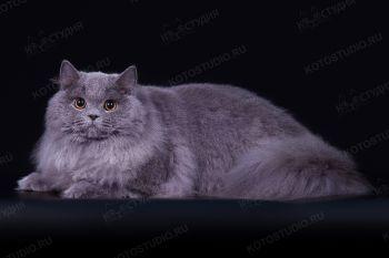 Casanova Shinesimphony. Британский длинношерстный кот, заводчик Калашницына Татьяна (г. Волгоград), питомник Shinesimphony.