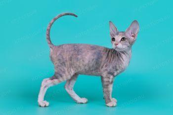 Котенок породы Донской сфинкс.
